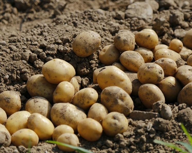 Картофелесажалки и картофелекопалки для мототрактора